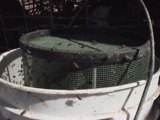 This one shows the flies all over the bucket and outside of the trap